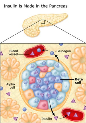 pancreas and beta cells